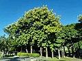 柚木 Tectona grandis 20210907093544 01.jpg