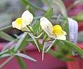 柳穿魚 Linaria vulgaris -香港嘉道理農場 Kadoorie Farm, Hong Kong- (9216081182).jpg