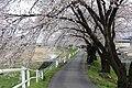 横河川の桜5 - panoramio.jpg