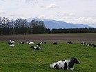 牛の昼下がり - panoramio.jpg