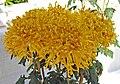 菊花-碧玉龍爪 Chrysanthemum morifolium 'Greenish Jade Dragon Claw' -香港圓玄學院 Hong Kong Yuen Yuen Institute- (12026695674).jpg