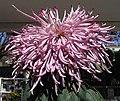 菊花-粉松針 Chrysanthemum morifolium 'Pink Pine Needles' -香港圓玄學院 Hong Kong Yuen Yuen Institute- (12026693144).jpg