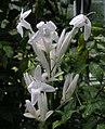 蘆莉草屬 Ruellia longifolia -阿姆斯特丹植物園 Hortus Botanicus, Amsterdam- (9227006779).jpg