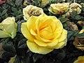 迷你玫瑰 Rosa Rainbow's End (miniature rose) -香港花展 Hong Kong Flower Show- (33792208526).jpg
