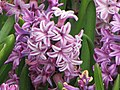 風信子 Hyacinthus orientalis -香港花展 Hong Kong Flower Show- (9252478285).jpg