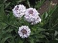 馬鞭草屬 Verbena rigida v lilacina 'Polaris' -英格蘭 Wisley Gardens, England- (9198146921).jpg