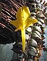鯨魚花屬 Columnea × banksii 'Carnival' -波蘭 Krakow Jagiellonian University Botanic Garden, Poland- (36602149952).jpg