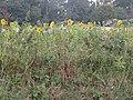 -2019-08-15 Sunflowers, Ingworth, Norfolk (1).JPG