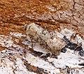 -2087- Turnip Moth (Agrotis segetum) (30450284068).jpg