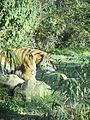 - ITALY - Tigre Siberiana - Parco Natura Viva - Verona 3.JPG