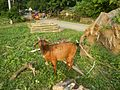 09409jfCattle goats grasslands Roads San Miguel, Bulacanfvf 08.jpg