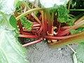 100 year old Rhubarb in Skagway.jpg