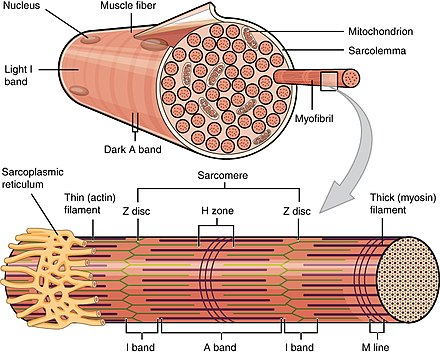 A skeletal muscle fiber is surrounded by a plasma membrane called the sarcolemma, which contains sarcoplasm, the cytoplasm of muscle cells. A muscle fiber is composed of many fibrils, which give the cell its striated appearance. 1022 Muscle Fibers (small).jpg