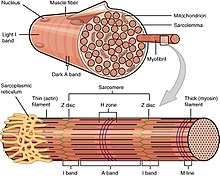 How does muscle cells generate potential difference?