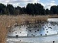 1027.DeHeld.Vinkhuizen.Westpark.Rietvelden.Waterskivijver.Natuur.Watervogels.Eenden.jpg