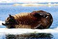 10 Walross 2001.jpg