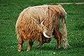 11-05-30 019 DNFS Young Highland bull, Denmark.jpg