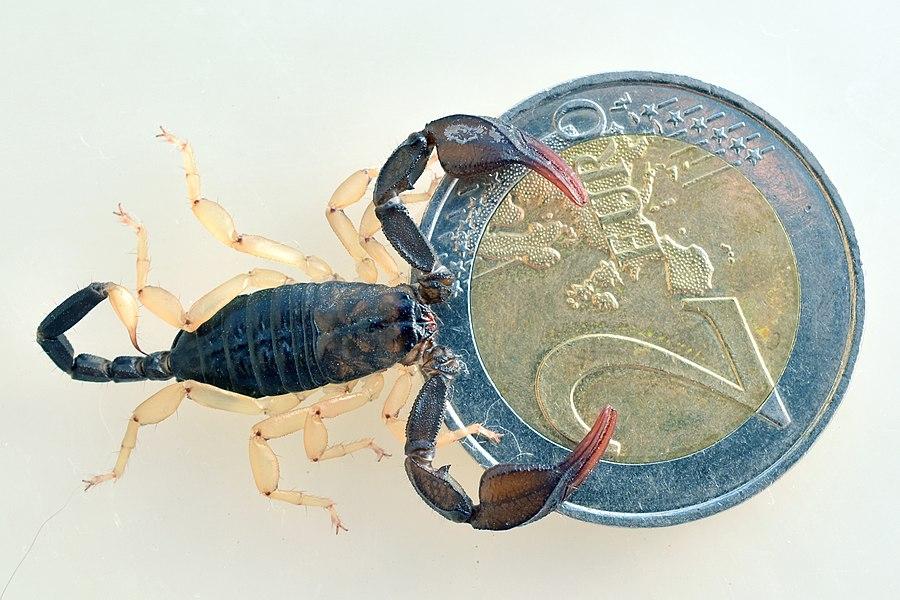 Skorpion, Euscorpius flavicaudis, Größenvergleich mit Zweieuromünze.