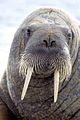 17 Walross 1999.jpg