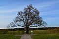 184-летний дуб 2.jpg