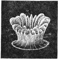 1911 Britannica-Anthozoa-Caryophyllia.png