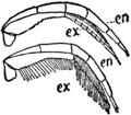 1911 Britannica-Arachnida-Triarthrus Becki3.png
