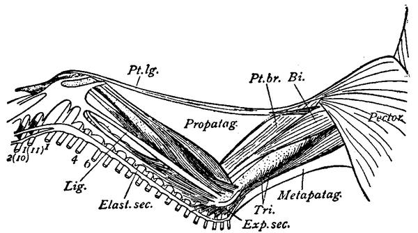 Flügel (Vogel) - Wikiwand
