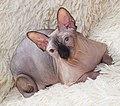1 adult cat Sphynx. img 041.jpg