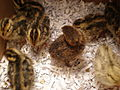 1 week old Japanese quail chicks 01.JPG