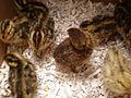 1 week old Japanese quail chicks 01.JPG