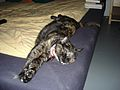 2005-08-11 Tortoiseshell cat (8653592034).jpg