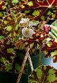 2007-03-19Begonia bowerae02.jpg