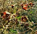 2007-04-07Potentilla fruticosa05.jpg