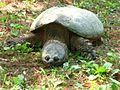 2007SnappingTurtle.jpg