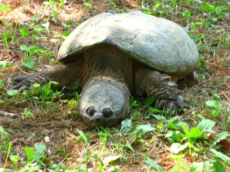 800px-2007SnappingTurtle.jpg