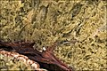 2009-09-17 Rhizopogon obtextus 76105.jpg
