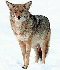 2009-Coyote-Yosemite.jpg