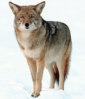 Coyote Species of canine native to North America