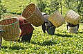 2009.12-363-1071ap tea,basket,harvesting(picking) tea-zone N of Embu(C Highlands),KE mon14dec2009-1100h.jpg