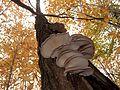 2011-10-19 Pleurotus ostreatus.jpg