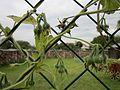 20121008Prunkwinde Altlussheim07.jpg