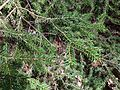 2013-05-06 16 40 55 Close up of Red Spruce foliage along the Swamp Trail in Jenny Jump State Forest.jpg