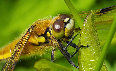 Four-spotted chaser - Libellula quadrimaculata, female