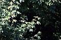 20130913 104 Kessel Weerdbeemden Pimpelmees (9738155142).jpg