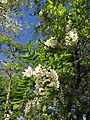 2014-05-17 10 00 09 Black Locust blossoms along Federal City Road at Interstate 95 in Lawrence Township, New Jersey.JPG