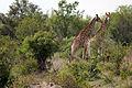 2014-11-23 063 Giraffen (Giraffa camelopardalis) anagoria.JPG