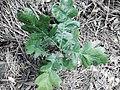 2014-365-224 Baby Oak (14716572739).jpg