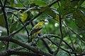 2014 Borneo Luyten-De-Hauwere-Bird-03.jpg