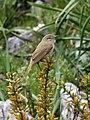 2015-04-30 Western Bonelli's Warbler, Grazalema, Spain.jpg