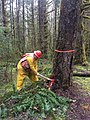2017. Forest Pathologist Brennan Ferguson inspects a tree for root disease with a Pulaski. Mt Baker-Snoqualmie National Forest, Washington. (38032865045).jpg